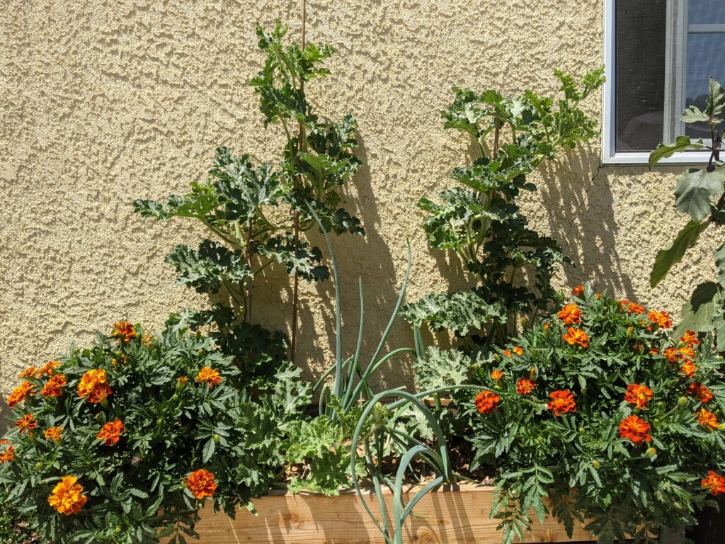 Watermelons, onions and marigolds in a raised bed.